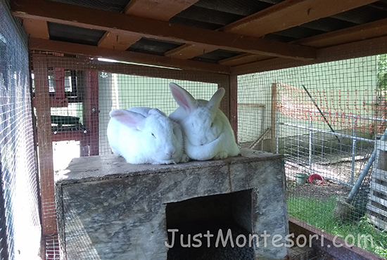 These rabbits were placed together a few days before for breeding.