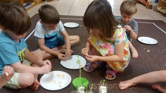 Opening pre-soaked seeds. Looking for the seed coat and the tiny plant inside waiting to grow.